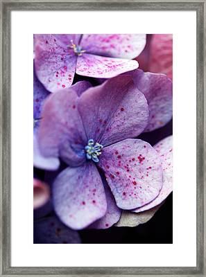 Hydrangea 9 Framed Print