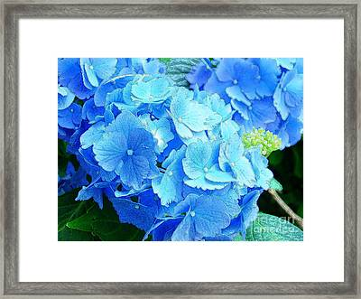 Hydrangea Framed Print by Addie Hocynec