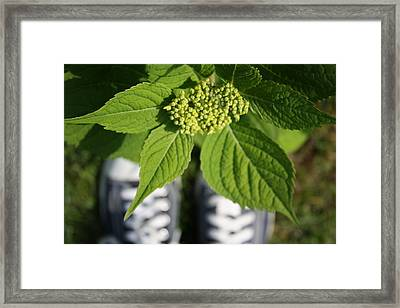 Hydrangea And My Sneakers Framed Print by Annie Babineau