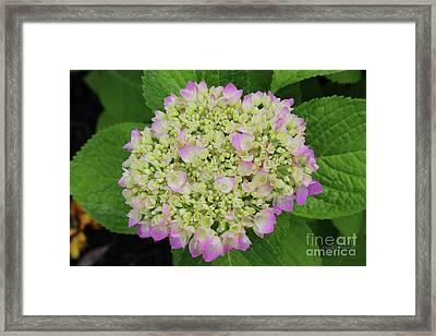Hydrangea Bloom Framed Print