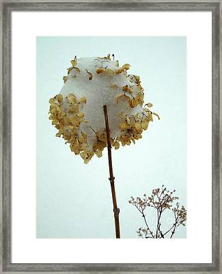 Hydrangea Blossom In Snow Framed Print