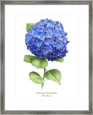 Hydrangea Blue Heaven Framed Print by Artellus Artworks