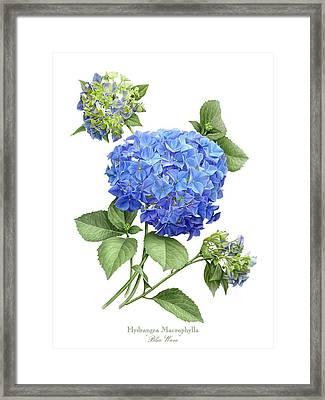 Hydrangea Blue Wave Framed Print