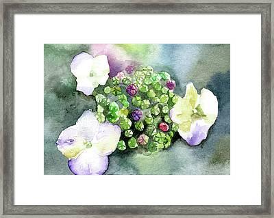 Hydrangea Buds Framed Print