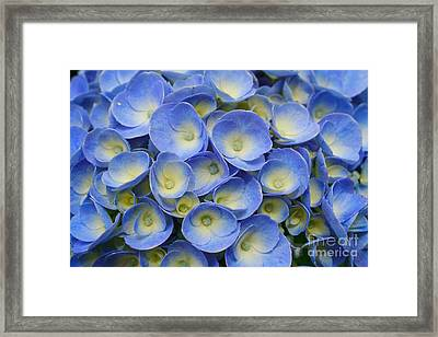 Hydrangea Closeup Framed Print