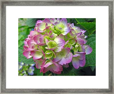 Hydrangea Delight Framed Print