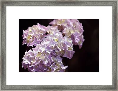 Hydrangea Framed Print by Evelyn Patrick