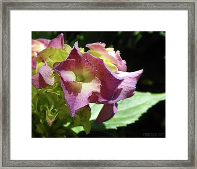 Hydrangea Flowers Fit For A Fairy Framed Print
