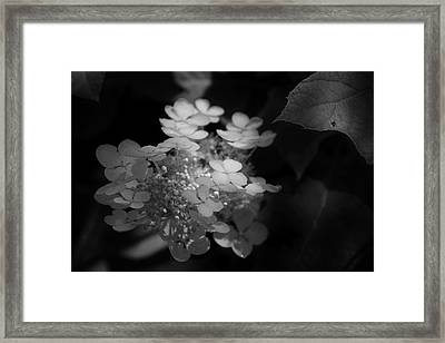 Hydrangea In Black And White Framed Print by Chrystal Mimbs