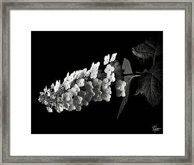 Hydrangea In Black And White Framed Print