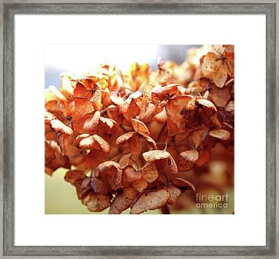 Hydrangea In Sunlight Framed Print