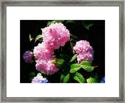 Hydrangea In Sunshine Framed Print by Susan Savad