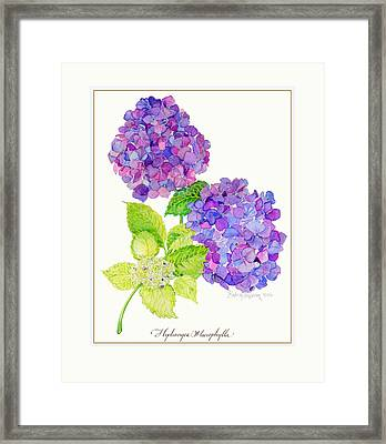 Hydrangea Framed Print by Kimberly McSparran