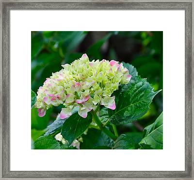 Hydrangea Framed Print by Lori Kesten