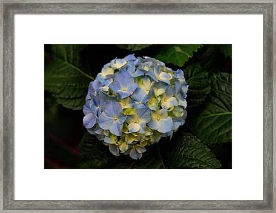 Framed Print featuring the photograph Hydrangea by Marilynne Bull