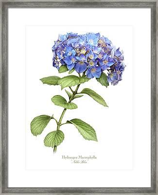 Hydrangea Nikko Blue Framed Print