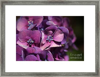 Hydrangea Passion  Framed Print