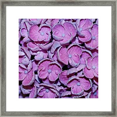 Hydrangea Petals Framed Print by Robert Shard