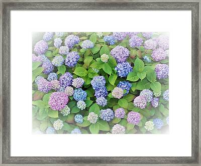 Hydrangea Play Framed Print by Ann Johndro-Collins