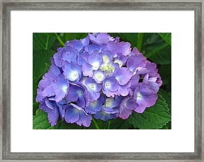 Hydrangea Purple Framed Print