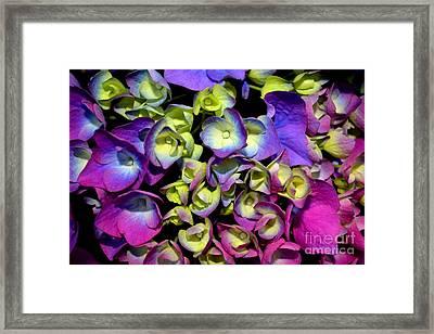 Hydrangea Framed Print by Vivian Krug Cotton