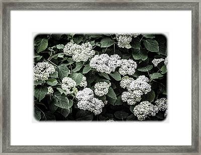 Hydrangeas - Annabelle Snowball Old-fashioned Hydrangeas Framed Print by Mother Nature