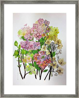Hydrangea's Changing Colours Framed Print