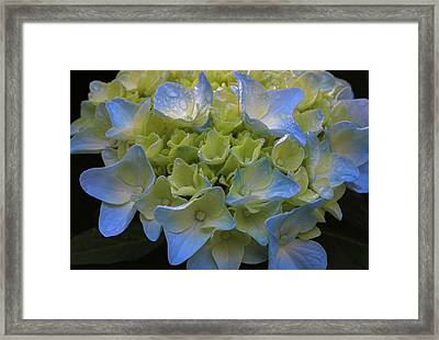 Framed Print featuring the photograph Hydrangeas Flowers by Juergen Roth