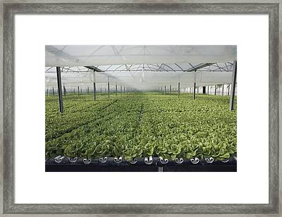 Hydroponic Lettuce Is Grown In An Acre Framed Print by Joseph H. Bailey