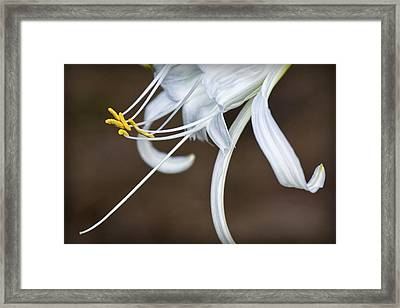 Hymenocallis Narcissiflora Framed Print