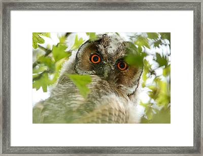 Hypnoteyes - Long-eared Owl Framed Print by Roeselien Raimond