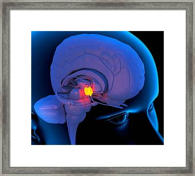 Hypothalamus In The Brain, Artwork Framed Print by Roger Harris
