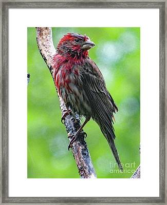 I Could Use A Little Sunshine - House Finch Framed Print