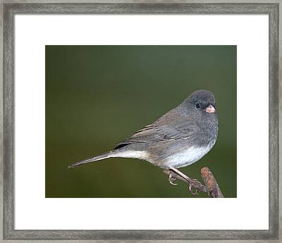 I Junco Framed Print by Richard Oliver