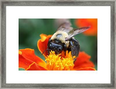 I Like Pollen  Framed Print by Jason Hochman