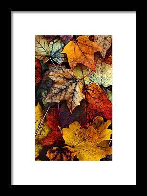 Maple Leaf Framed Prints