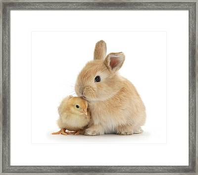 I Love To Kiss The Chicks Framed Print