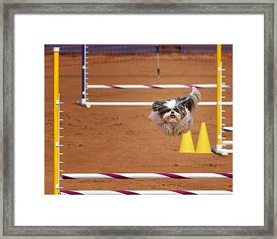 I Think I Can Fly - Shih Tzu In Agility Competition Framed Print by Mitch Spence