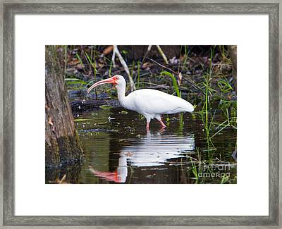 Ibis Drink Framed Print by Mike Dawson