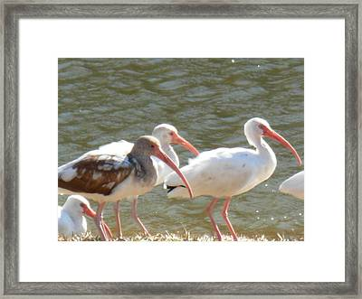 Ibis Flock With Spotted Juvenile Framed Print