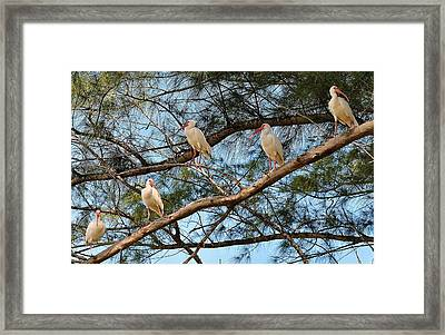Ibis I May, Ibis I Might... Framed Print