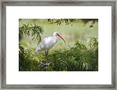 Ibis In Cypress Framed Print