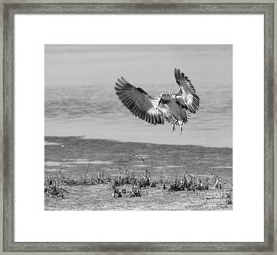 Ibis In Flight 2 Framed Print by Debbie May