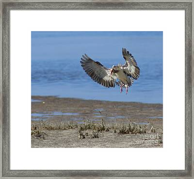 Ibis In Flight Framed Print by Debbie May