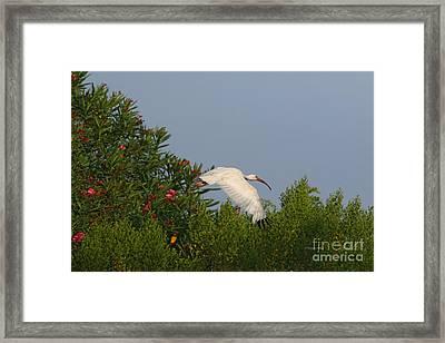 Ibis In The Oleander Framed Print