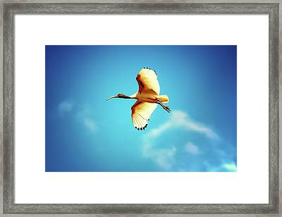 Ibis Of Light Framed Print