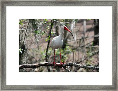 Framed Print featuring the photograph Ibis  by Teresa Blanton