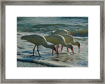 Ibises At Bowman Framed Print by Juergen Roth