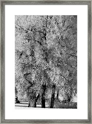 Iced Cottonwoods Framed Print by Colleen Coccia