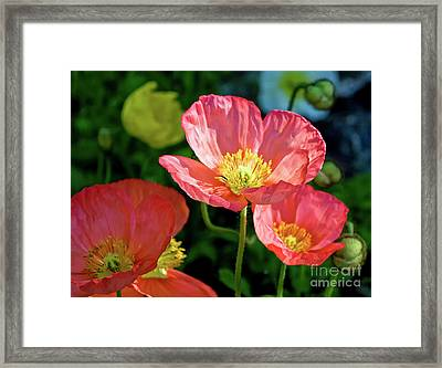 Iceland Poppies Visit Www.angeliniphoto.com For More Framed Print by Mary Angelini